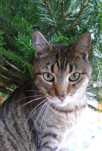 Weihnachtsbaum Minos 1